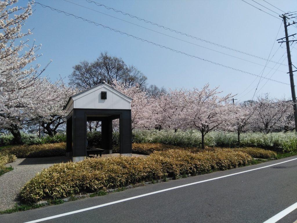 蔵の街の桜
