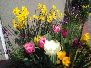 花壇のチューリップ
