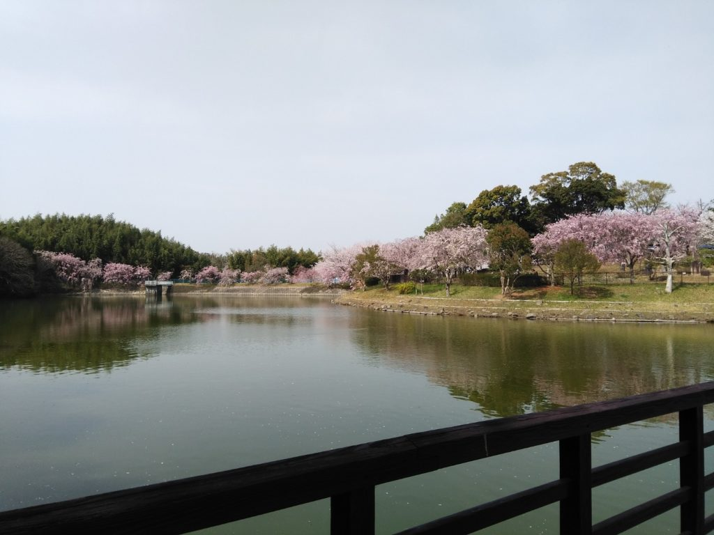 池から見た桜