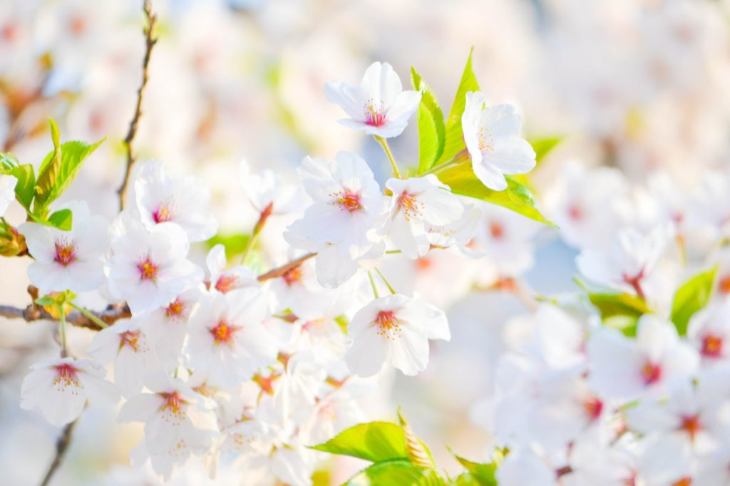 緑の若葉と桜