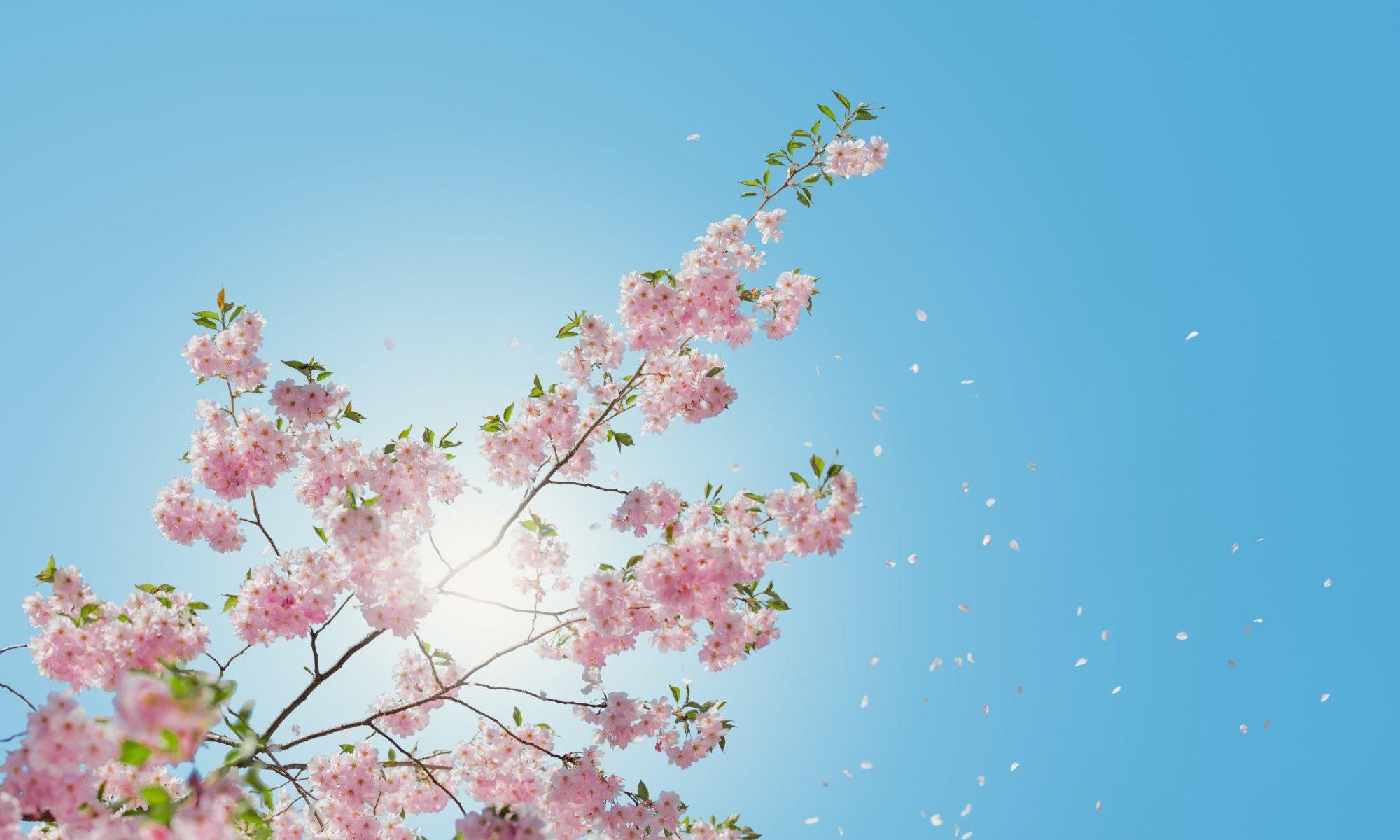 青空の桜の花